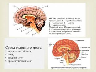 Ствол головного мозга: продолговатый мозг, мост, средний мозг, промежуточный