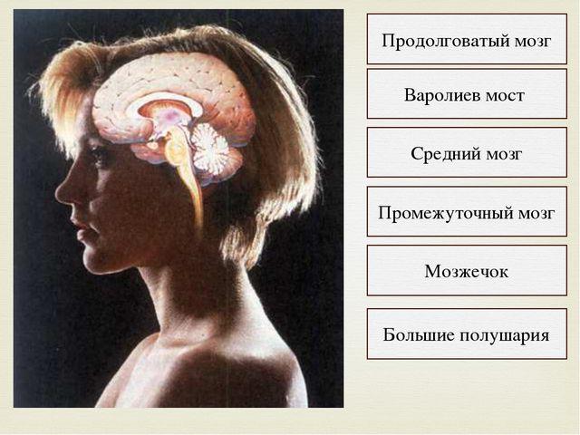Продолговатый мозг Варолиев мост Средний мозг Промежуточный мозг Мозжечок Бол...