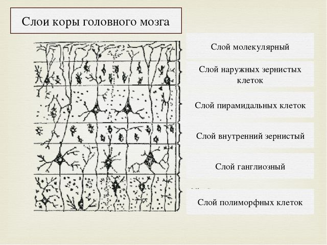 Слой полиморфных клеток Слой ганглиозный Слой внутренний зернистый Слой пирам...