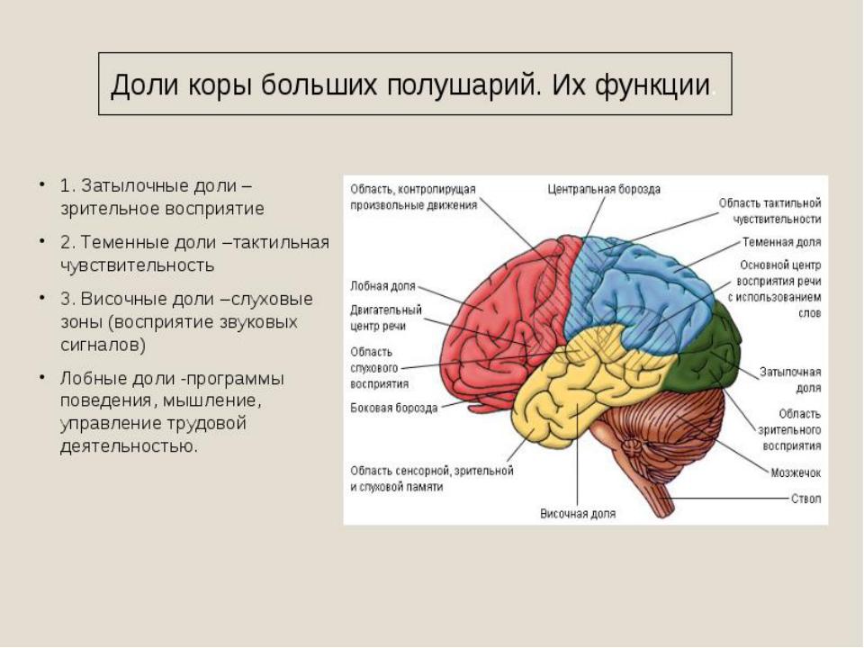 строение мозга человека картинка магазина софия