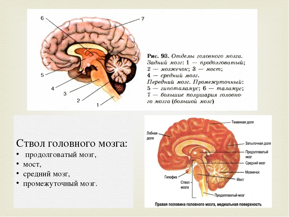 Ствол головного мозга: продолговатый мозг, мост, средний мозг, промежуточный...
