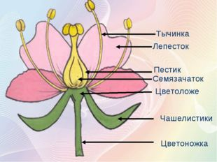 Тычинка Лепесток Пестик Семязачаток Цветоложе Чашелистики Цветоножка