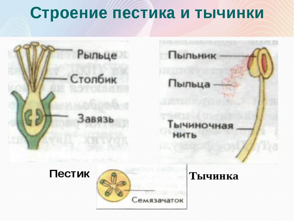 Строение пестика и тычинки