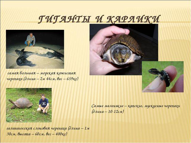 ГИГАНТЫ И КАРЛИКИ самая большая – морская кожистая черепаха (длина – 2м 44см...