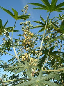 http://upload.wikimedia.org/wikipedia/commons/thumb/f/ff/CastorBean_Leaves_Flowers_and_YoungFruit.jpg/220px-CastorBean_Leaves_Flowers_and_YoungFruit.jpg