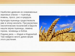 Наиболее древние из современных зерновых злаков — пшеница, ячмень, просо, рис