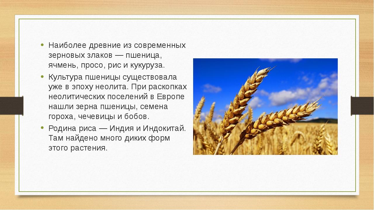 Наиболее древние из современных зерновых злаков — пшеница, ячмень, просо, рис...