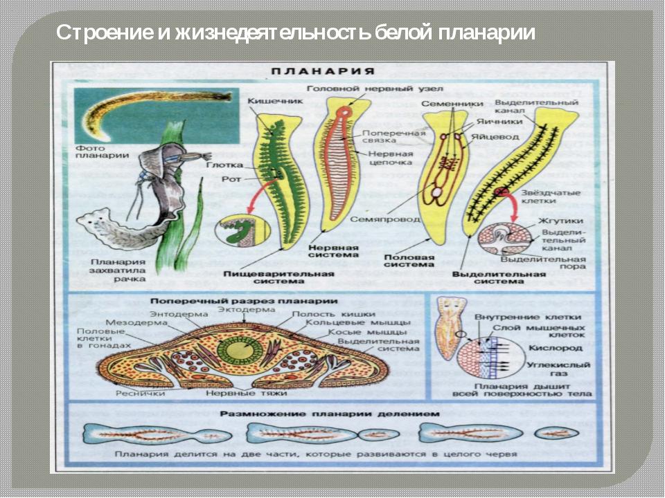Строение и жизнедеятельность белой планарии