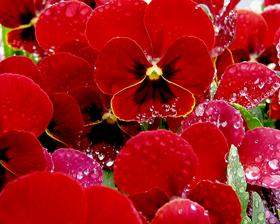 рубиново красная.png