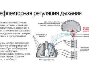 Рефлекторная регуляция дыхания Ритмическая последовательность вдоха и выдоха,