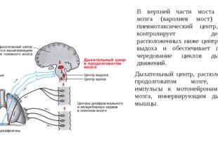 В верхней части моста головного мозга (варолиев мост) находится пневмотаксиче