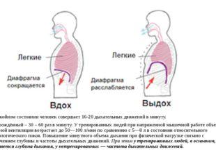 В спокойном состоянии человек совершает 16-20 дыхательных движений в минуту.