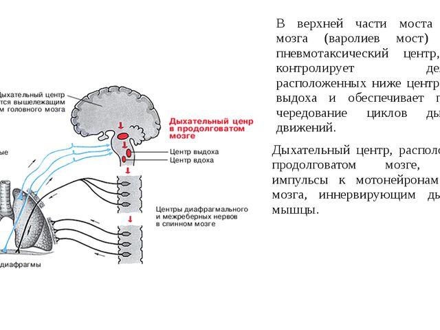 В верхней части моста головного мозга (варолиев мост) находится пневмотаксиче...