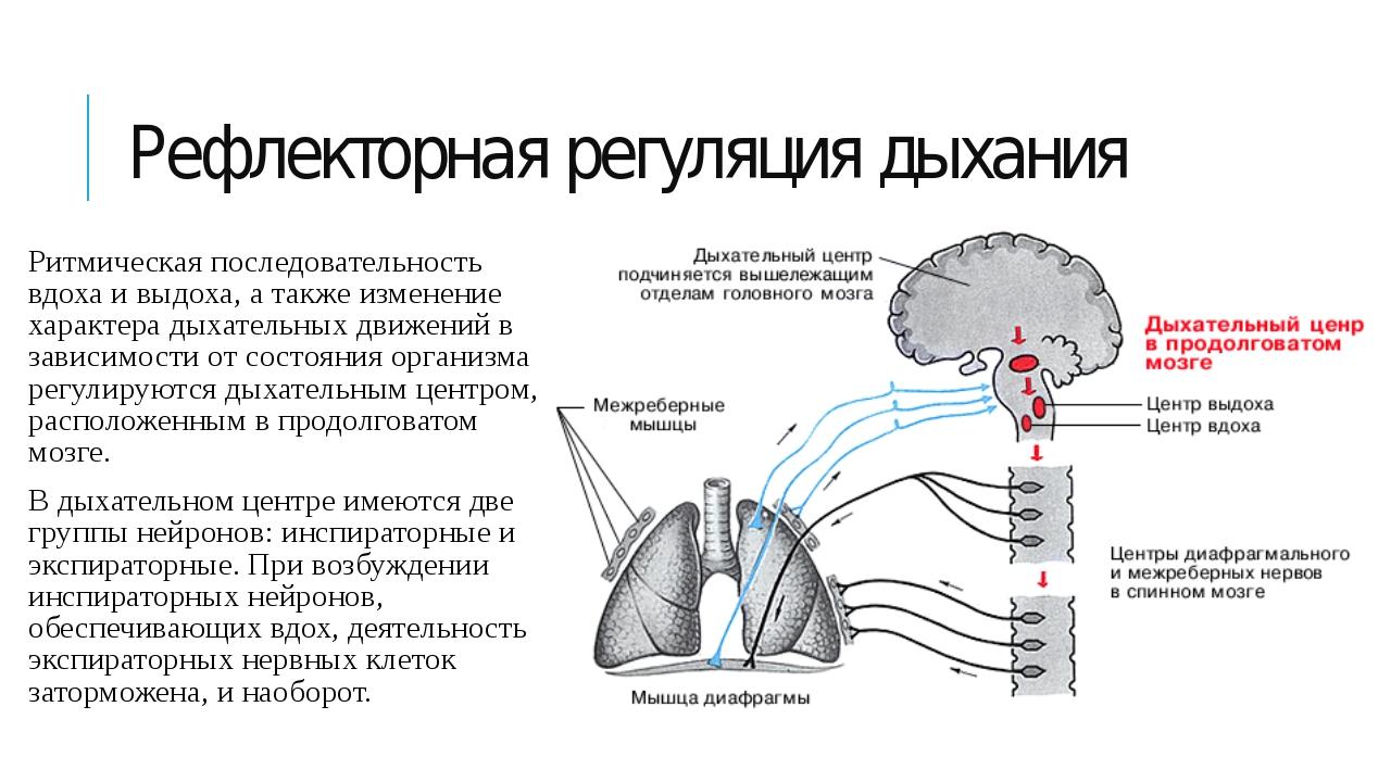 Рефлекторная регуляция дыхания Ритмическая последовательность вдоха и выдоха,...