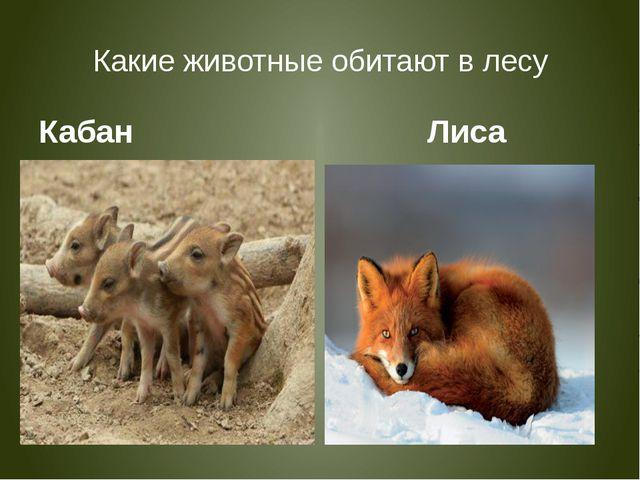 Какие животные обитают в лесу Кабан Лиса