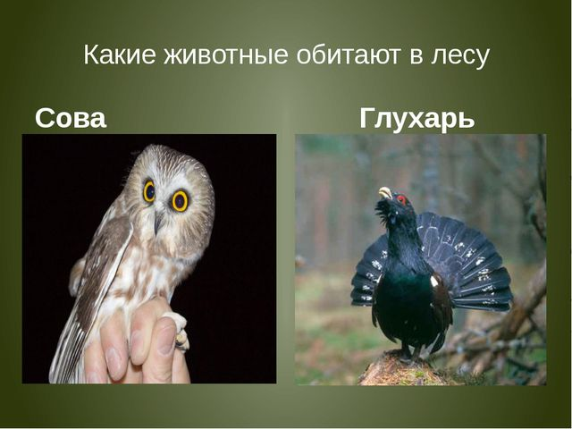 Какие животные обитают в лесу Сова Глухарь