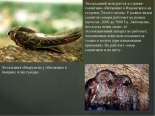 Эхолокацией пользуются и стрижи-саланганы, обитающие в Индонезии и на острова