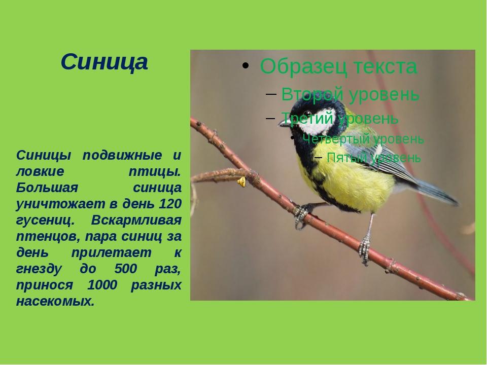 Синица Синицы подвижные и ловкие птицы. Большая синица уничтожает в день 120...
