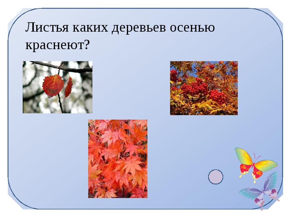 Листья каких деревьев осенью краснеют?