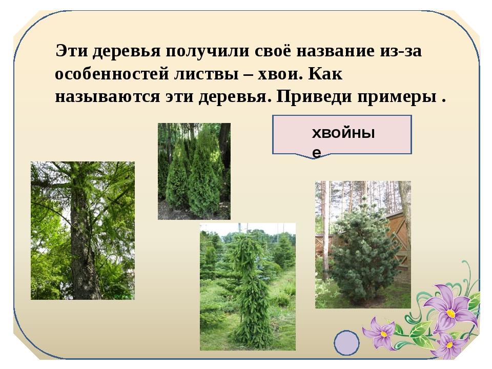 Эти деревья получили своё название из-за особенностей листвы – хвои. Как назы...