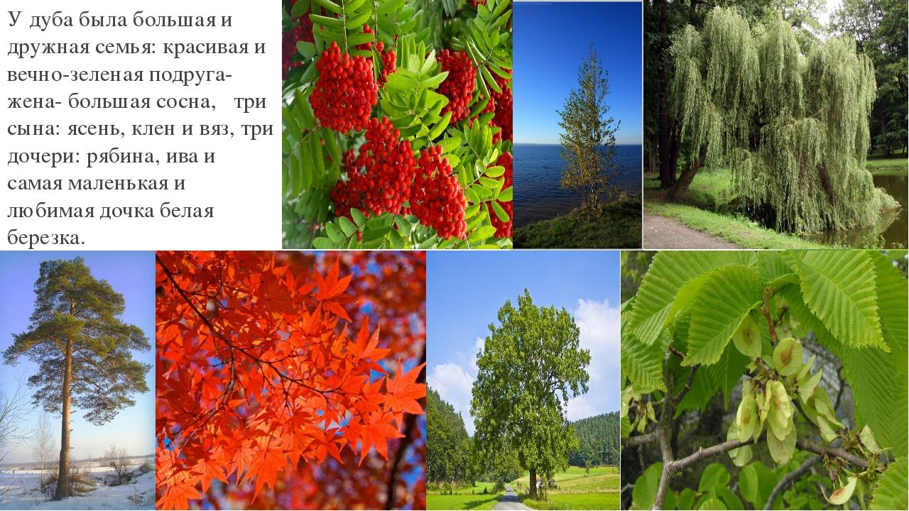 У дуба была большая и дружная семья: красивая и вечно-зеленая подруга-жена- б...