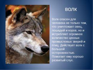 Волк опасен для человека не только тем, что уничтожает овец, лошадей и коров,