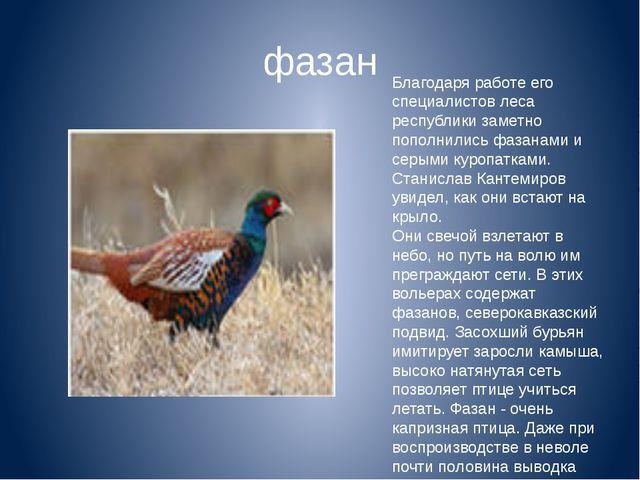 Благодаря работе его специалистов леса республики заметно пополнились фазанам...