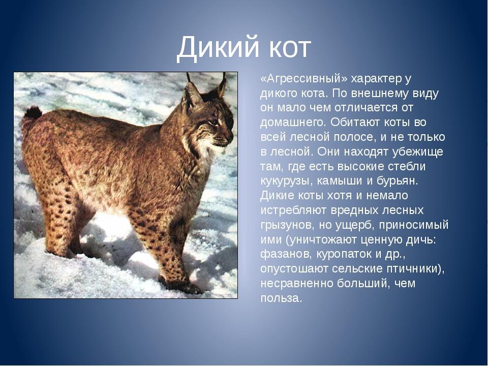 «Агрессивный» характер у дикого кота. По внешнему виду он мало чем отличается...