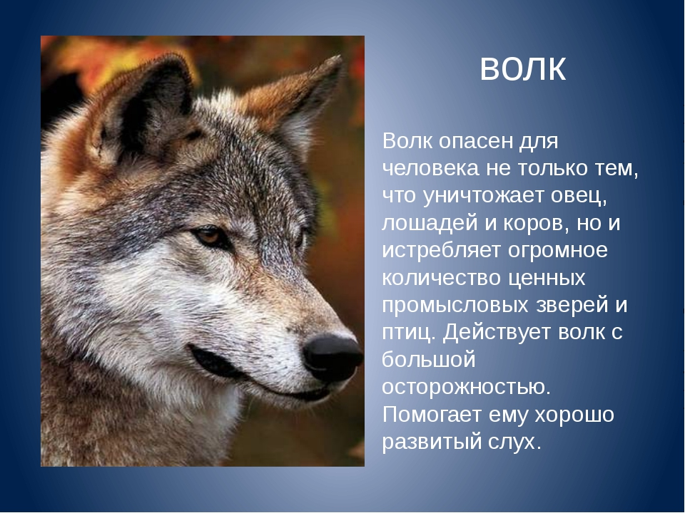 Волк опасен для человека не только тем, что уничтожает овец, лошадей и коров,...
