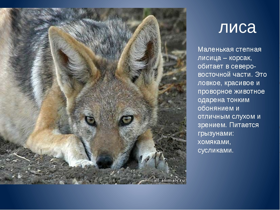Маленькая степная лисица – корсак, обитает в северо-восточной части. Это ловк...