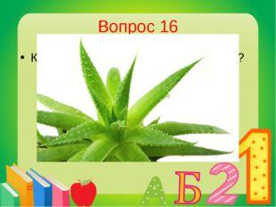 Вопрос 16 Комнатное лекарственное растение? Алоэ