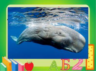 Вопрос 8 Зубастый кит. Кашалот