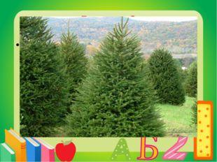 Вопрос 9 Новогоднее дерево. Ель