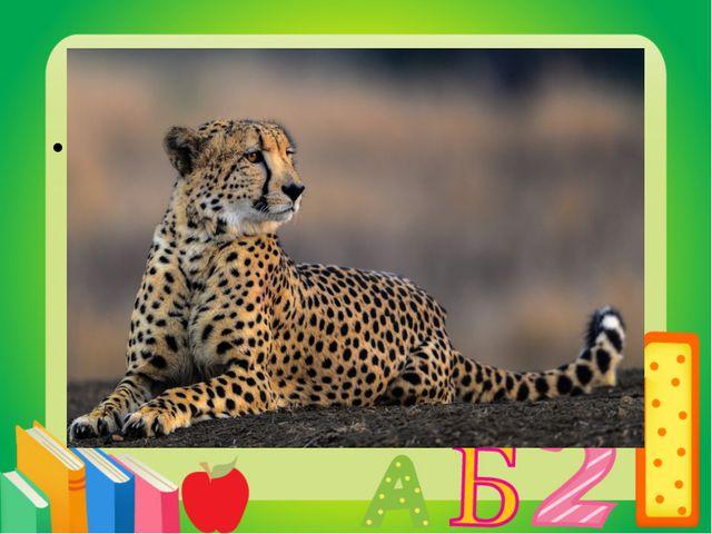 Вопрос 11 Самое быстрое животное на Земле. Гепард