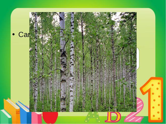 Вопрос 6 Самое «русское» дерево? Береза