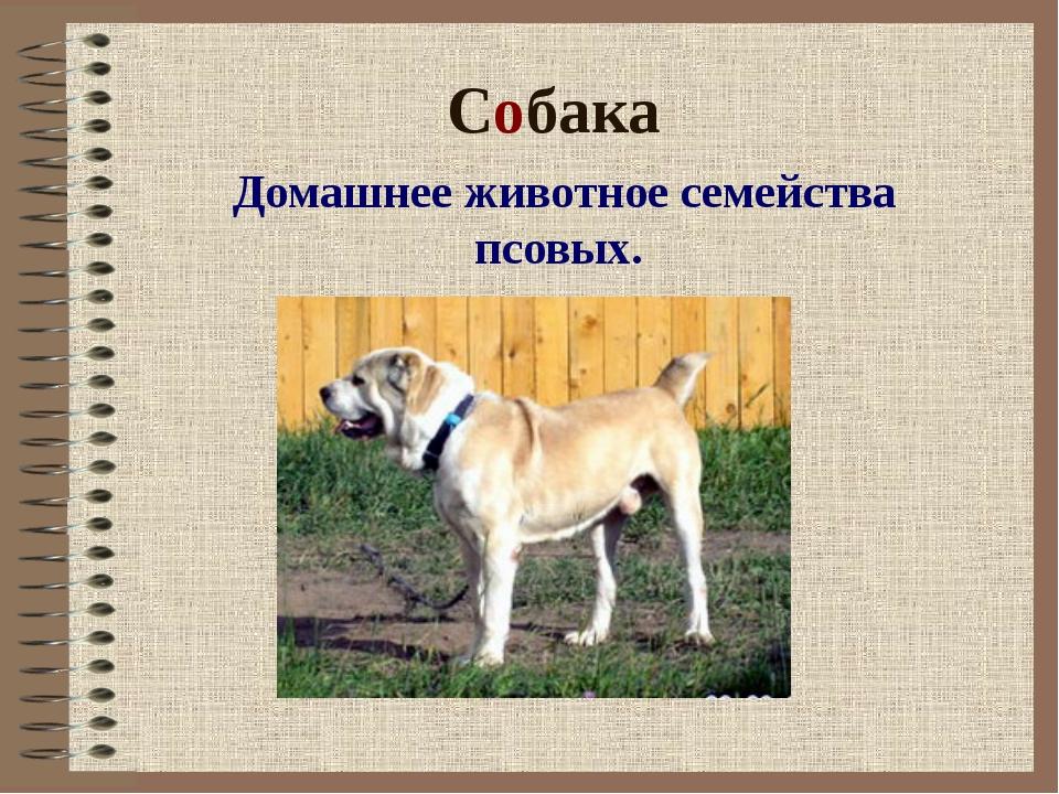 Собака Домашнее животное семейства псовых.