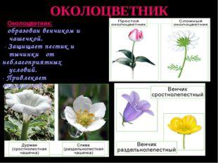 ОКОЛОЦВЕТНИК Околоцветник: образован венчиком и чашечкой. - Защищает пестик и