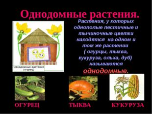 Растения, у которых однополые пестичные и тычиночные цветки находятся на одно