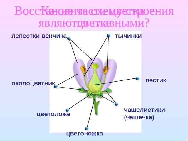 Восстановите схему строения цветка лепестки венчика тычинки пестик околоцветн...