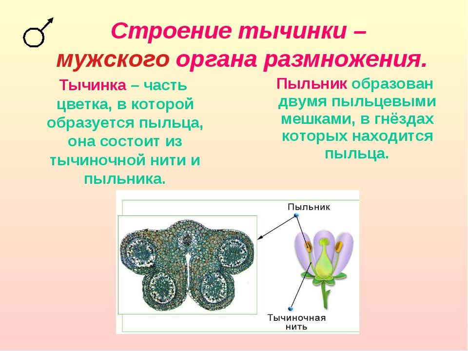 Строение тычинки – мужского органа размножения. Тычинка – часть цветка, в кот...