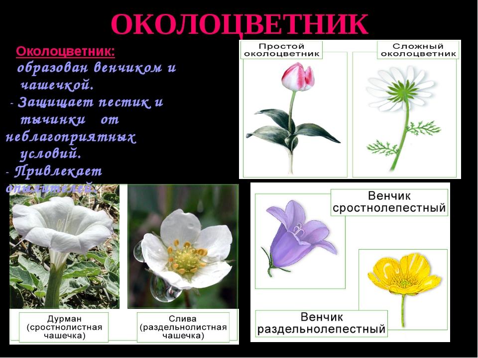 ОКОЛОЦВЕТНИК Околоцветник: образован венчиком и чашечкой. - Защищает пестик и...