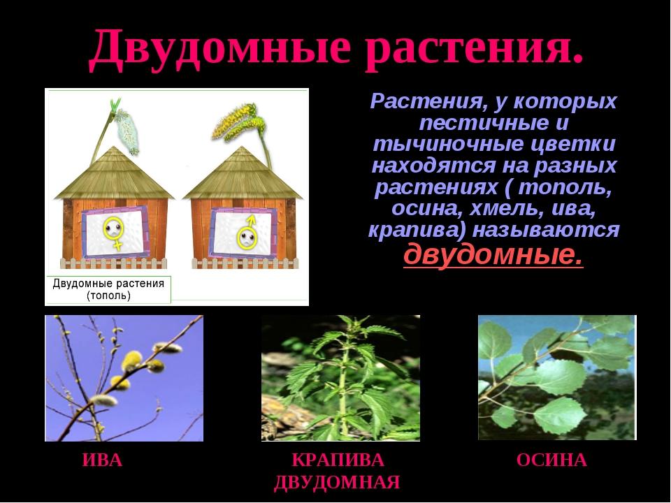Двудомные растения. Растения, у которых пестичные и тычиночные цветки находят...