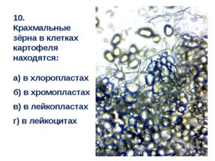 10. Крахмальные зёрна в клетках картофеля находятся: а) в хлоропластах б) в х