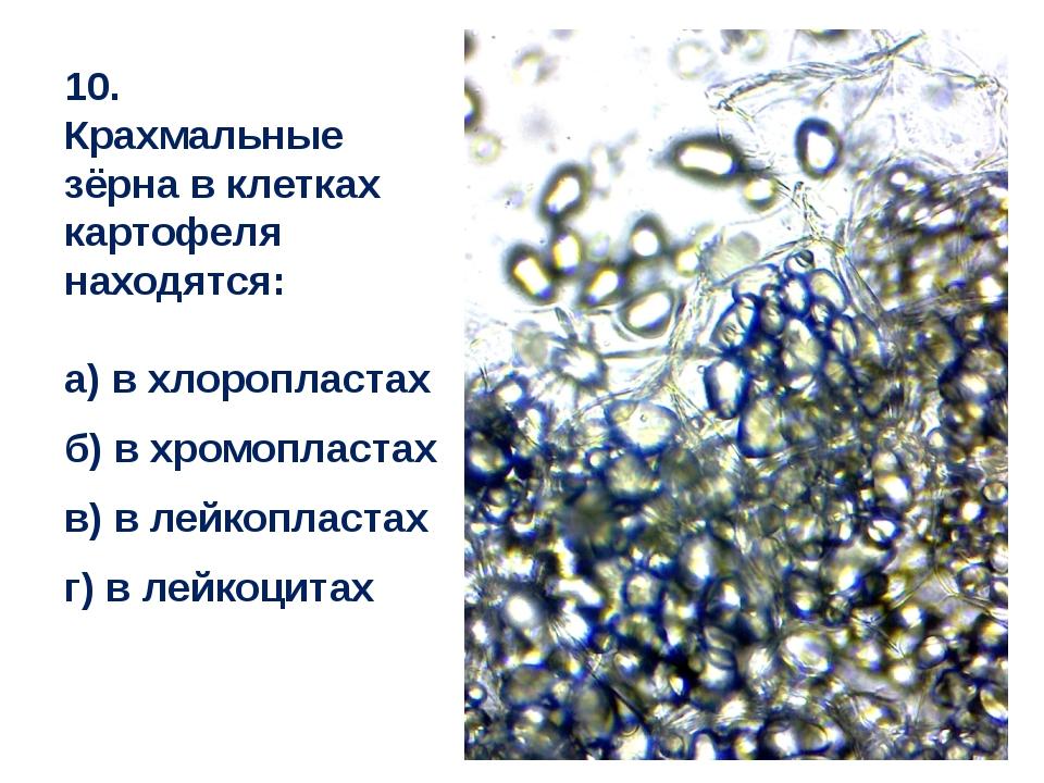 10. Крахмальные зёрна в клетках картофеля находятся: а) в хлоропластах б) в х...