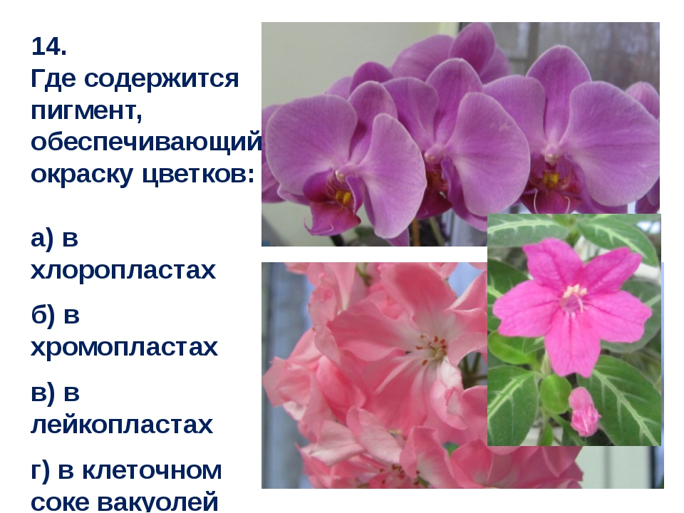 14. Где содержится пигмент, обеспечивающий окраску цветков: а) в хлоропластах...