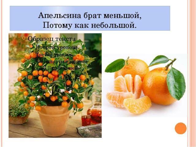 Апельсина брат меньшой, Потому как небольшой.