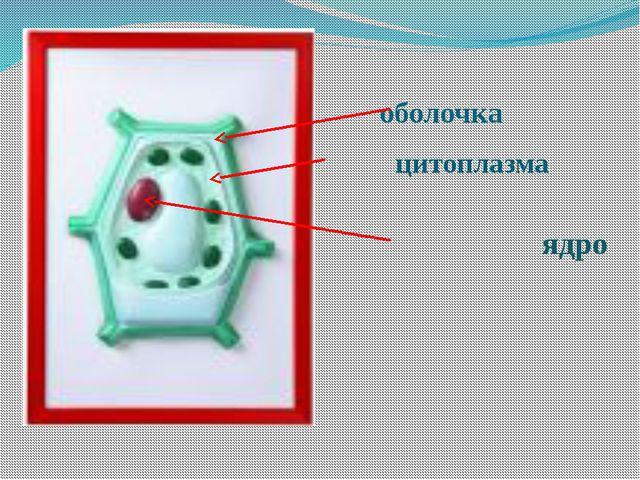 оболочка цитоплазма ядро