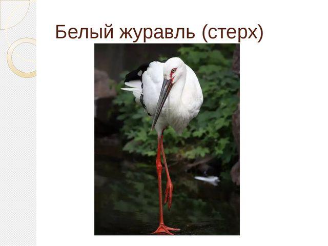 Белый журавль (стерх) Категория 3. Редкий вид.