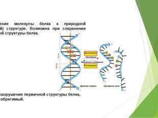 РЕНАТУРАЦИЯ: возвращение молекулы белка к природной (нативной) структуре. Воз