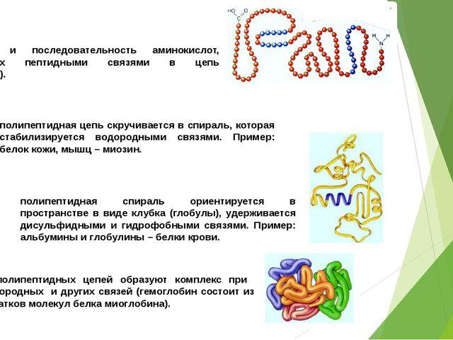 ПЕРВИЧНАЯ СТРУКТУРА: количество и последовательность аминокислот, соединенных...